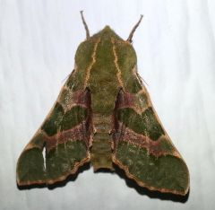 pacificgreensphinxmoth_small