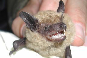BrownBat_small