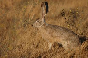 Jackrabbit_small