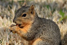 easternfoxsquirrel_small