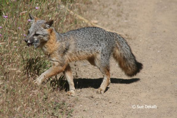 Gray fox habitat - photo#19