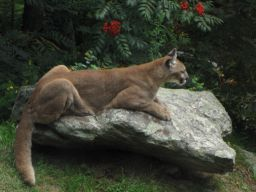 mountainlion_small