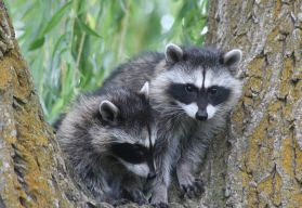 raccoon_small