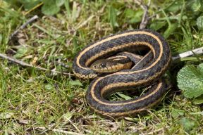 aquaticgartersnake_small