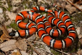 californiamountainkingsnake_small