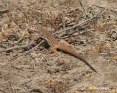 californiawhiptail_small