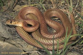 coachwhip_small