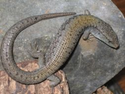 northernalligatorlizard_small