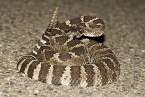 northernpacificrattlesnake_small