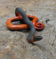 ring-necksnake_small