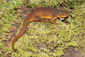 rough-skinnednewt_small