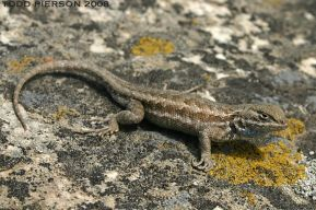 sagebrushlizard_small