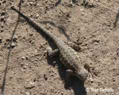 westernfencelizard_small