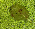 Leaf in Duckweed