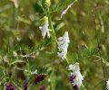 White Winter Vetch