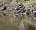 Turtles at Fish Pond