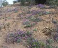 Bay Area Silver Lupine at Hoover Airstrip