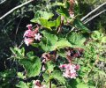 Chaparral Currant