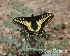 aniseswallowtail_small