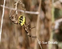 blackandyellowargiopespider_small