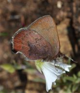 callophrys_augustinus_2_small