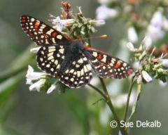 chalcedoncheckerspot_small