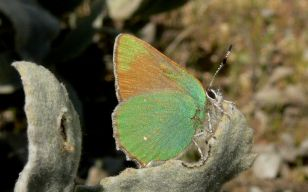 coastalgreenhairstreak_small