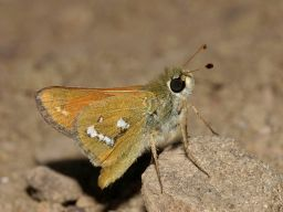 columbianskipper_small