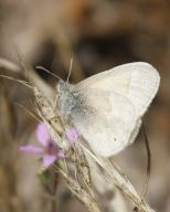 common_ringlet_small