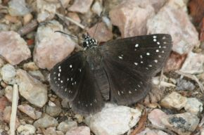 common_sootywing_pholisora_catullus_small
