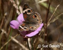 commonbuckeye_small