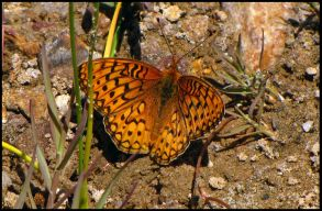 coronisfritillary_small