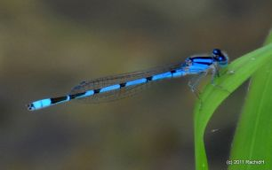 damselfly_small