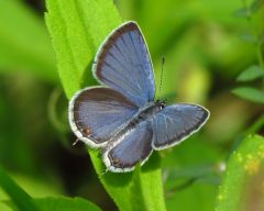 eastern_tailed-blue_small