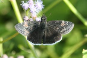 funereal_duskywing_erynnis_funeralis_small