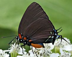 greatpurplehairstreak_29876_small