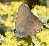 hedgerowhairstreak_25759_small