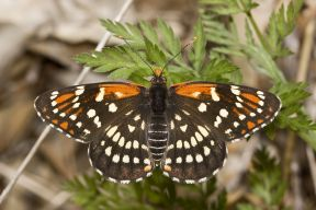 leaniracheckerspot_small