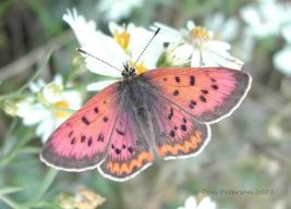 lycaena_helloides_male_small