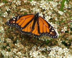 monarch_small