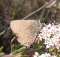 mountainmahoganyhairstreak_131549_small