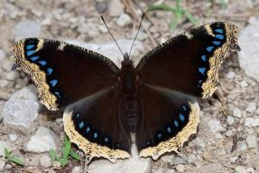 mourningcloak_297106_small