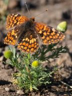 northern_checkerspot_butterfly_small