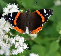 redadmiral_small