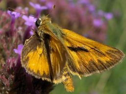 sandhillskipper_95711_small