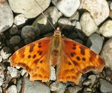 satyrcomma_430387_small