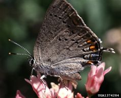 satyrium_californica_small