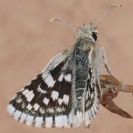 smallcheckeredskipper_258990_small