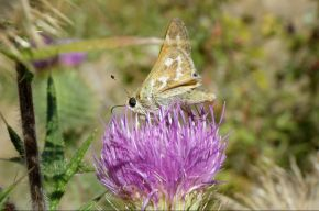 westernbrandedskipper_small