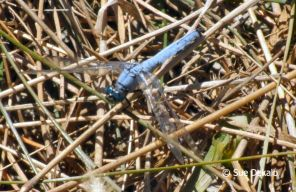westernpondhawk_small